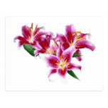 Stargazer Lily Heart Post Cards