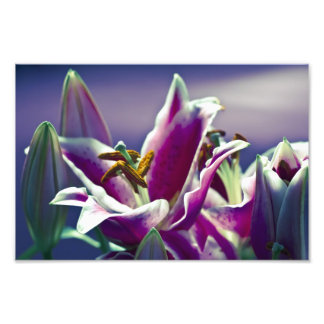 Stargazer Lily Photographic Print