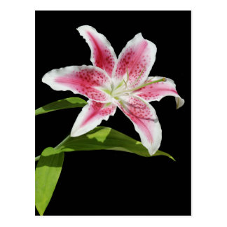 Stargazer Lily Post Card