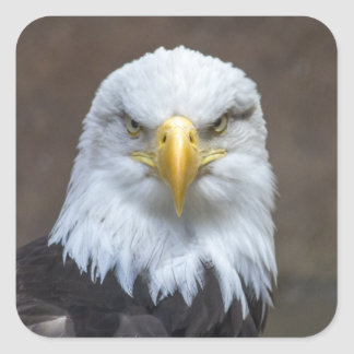 Staring Bald Eagle Square Sticker