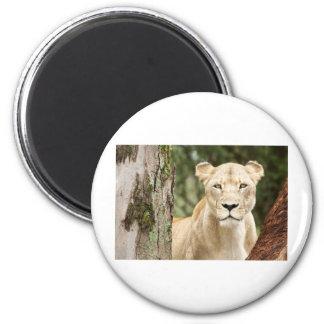 Staring Lioness 6 Cm Round Magnet