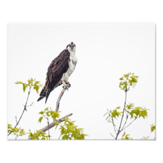 Staring Osprey Photo Print