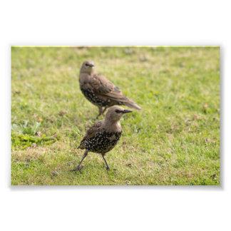 Starlings Photo Print