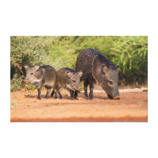 Starr County, Texas. Collared Peccary 1 Stretched Canvas Prints