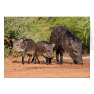 Starr County, Texas. Collared Peccary 1 Card