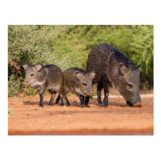 Starr County, Texas. Collared Peccary 1 Postcard