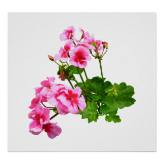 STARTING UNDER $20 - Geranium Profile Poster