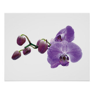 STARTING UNDER $20 - Purple Orchid With Buds Poster