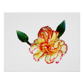 STARTING UNDER $20 -  Red-Tipped Yellow Carnation Poster