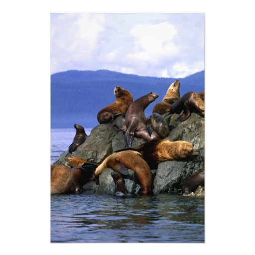 Stellar sea lions Alaska; USA Photographic Print
