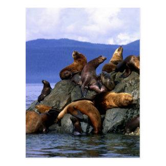 Stellar sea lions Alaska; USA Postcard