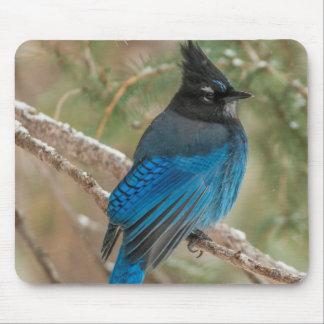 Steller's jay bird in tree mouse mat