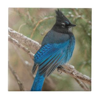Steller's jay bird in tree tile