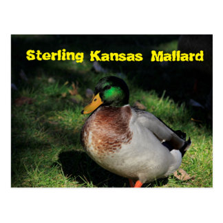 Sterling Kansas Mallard Post Card