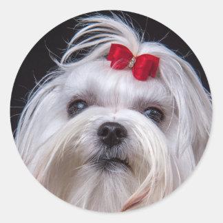 Sticker of maltese small white toy dog