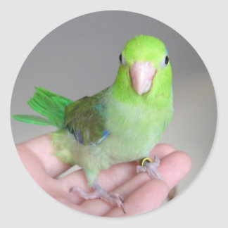 Sticker:  Pacific Parrotlet Classic Round Sticker