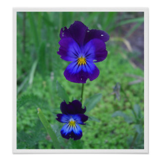 Still Alive Pansies Posters