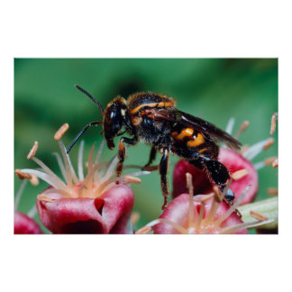 Stingless Bee (Meliponini) Collecting Nectar Poster
