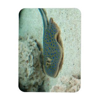Stingray Blue Rectangular Photo Magnet