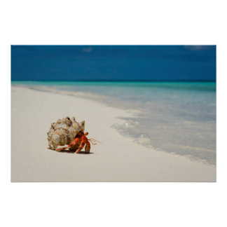 Strawberry Hermit Crab | Coenobita Perlatus Poster
