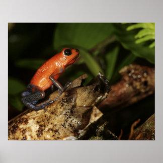 Strawberry Poison-dart frog Dendrobates 2 Poster