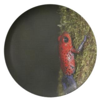 Strawberry Poison-dart frog (Dendrobates Plates