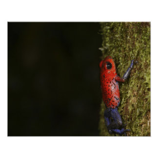 Strawberry Poison-dart frog Dendrobates Poster