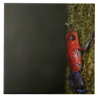 Strawberry Poison-dart frog (Dendrobates Tile