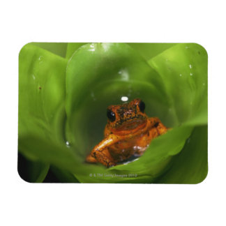 Strawberry poison frog hiding in leaves magnet
