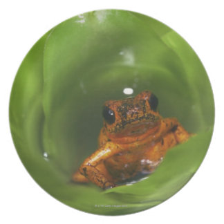 Strawberry poison frog hiding in leaves plate