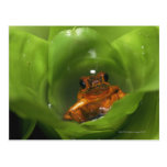Strawberry poison frog hiding in leaves post card