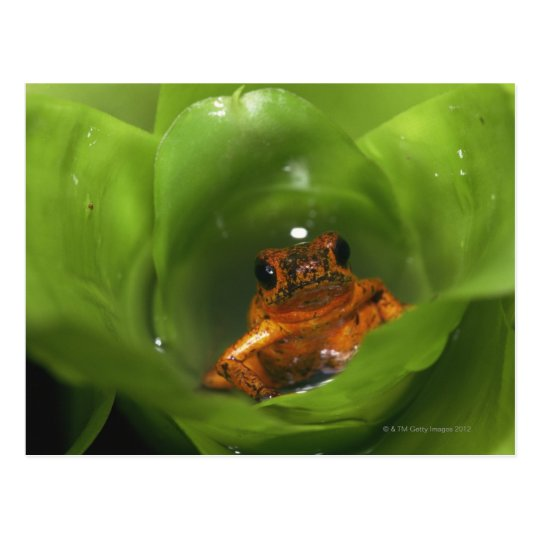 Strawberry poison frog hiding in leaves postcard