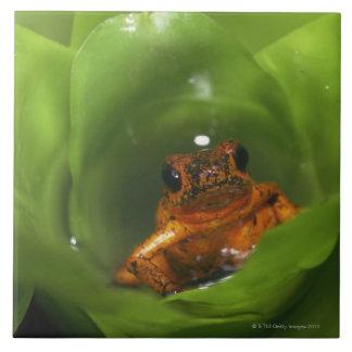 Strawberry poison frog hiding in leaves tile