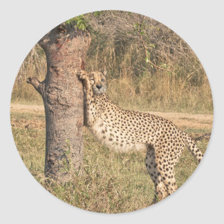 Stretching Cheetah Classic Round Sticker