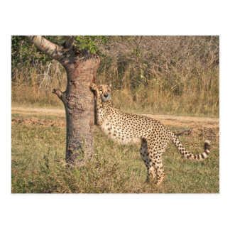 Stretching Cheetah Postcard