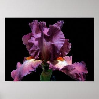 Striking Purple Iris Poster