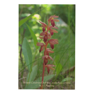"Striped Coralroot Orchid 24""x36"" Wood Wall Art"