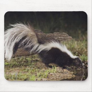 Striped Skunk, Mephitis mephitis, adult at 2 Mouse Mat