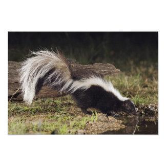 Striped Skunk, Mephitis mephitis, adult at 2 Photo