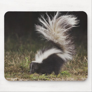 Striped Skunk, Mephitis mephitis, adult at Mouse Pad