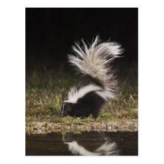 Striped Skunk, Mephitis mephitis, adult at Postcard
