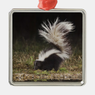 Striped Skunk, Mephitis mephitis, adult at Silver-Colored Square Decoration