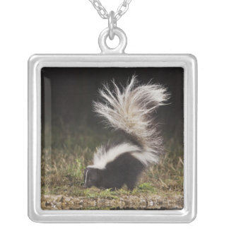 Striped Skunk, Mephitis mephitis, adult at Silver Plated Necklace