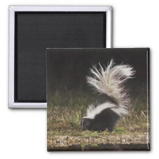 Striped Skunk, Mephitis mephitis, adult at Square Magnet