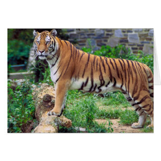 Striped Tiger Greeting Card
