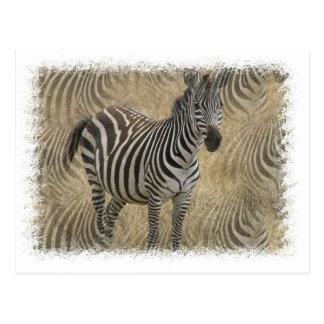 Striped Zebra Postcard