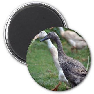 Strolling Indian Runner Ducks 6 Cm Round Magnet