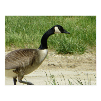 Strutting Goose Postcard
