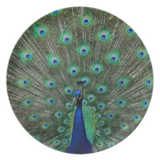 Strutting Male Peacock Dinner Plates