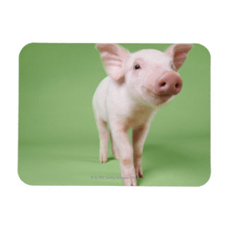 Studio Cut Out of a Piglet Standing Rectangle Magnets